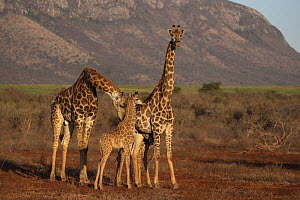 Giraffes (Giraffa camelopardalis), male with female and baby, Zimanga game reserve, KwaZulu-Natal, South Africa.  -  Ann  & Steve Toon