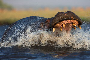 Hippo (Hippopotamus amphibius) charging in aggression with open mouth. Chobe River, Chobe National park, Botswana.  -  Ann  & Steve Toon