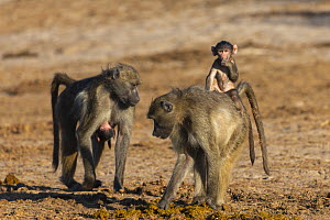 Chacma baboons (Papio ursinus) picking through elephant dung, with baby on back, Chobe National Park, Botswana, May  -  Ann  & Steve Toon