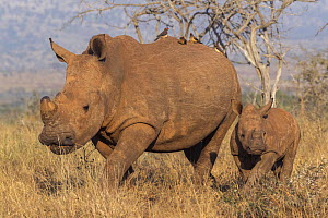 White rhino (Ceratotherium simum) with calf, Zimanga private game reserve, KwaZulu-Natal, South Africa.  -  Ann  & Steve Toon
