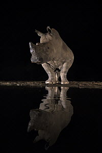 White rhino (Ceratotherium simum) at water at night, Zimanga private game reserve, KwaZulu-Natal, South Africa.  -  Ann  & Steve Toon