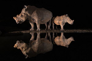 White rhino (Ceratotherium simum) female and calf looking in opposite directions, reflected in waterhole at night. Zimanga private game reserve, KwaZulu-Natal,  South Africa.  -  Ann  & Steve Toon