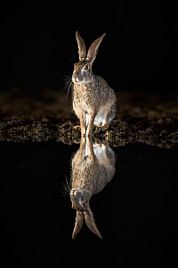 Scrub hare (Lepus saxatilis) sitting at edge of waterhole, reflected at night. Zimanga private game reserve, KwaZulu-Natal, South Africa.  -  Ann  & Steve Toon