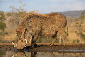 Warthog (Phacochoerus africanus) drinking, with redbilled oxpecker (Buphagus erythrorhynchus), Zimanga game reserve, KwaZulu-Natal, South Africa.  -  Ann  & Steve Toon
