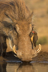 Warthog (Phacochoerus africanus) drinking, with redbilled oxpeckers (Buphagus erythrorhynchus), Zimanga game reserve, KwaZulu-Natal, South Africa.  -  Ann  & Steve Toon