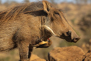 Warthog (Phacochoerus africanus) with Redbilled oxpecker (Buphagus erythrorhynchus), Zimanga game reserve, KwaZulu-Natal, South Africa.  -  Ann  & Steve Toon