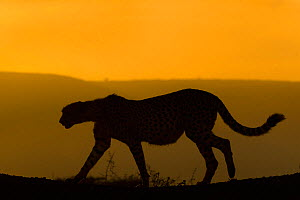 Cheetah (Acinonyx jubatus) walking, silhouetted at dusk. Zimanga private game reserve, KwaZulu-Natal, South Africa.  -  Ann  & Steve Toon