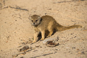 Yellow mongoose (Cynictis penicillata) pup, Kgalagadi Transfrontier National Park, Northern Cape, South Africa, February - Ann  & Steve Toon