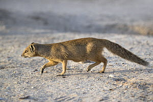Yellow mongoose (Cynictis penicillata) on the move, Kgalagadi Transfrontier National Park, Northern Cape, South Africa, February - Ann  & Steve Toon