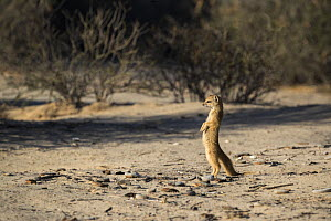 Yellow mongoose (Cynictis penicillata), Kgalagadi Transfrontier National Park, Northern Cape, South Africa, February - Ann  & Steve Toon