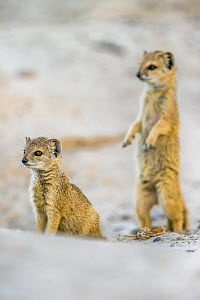 Yellow mongoose (Cynictis penicillata) with pup, Kgalagadi Transfrontier National Park, Northern Cape, South Africa, February - Ann  & Steve Toon