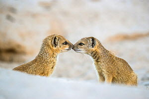 Yellow mongoose (Cynictis penicillata), two pups nose to nose. Kalahari Gemsbok National Park, Kgalagadi Transfrontier National Park, Northern Cape, South Africa. - Ann  & Steve Toon