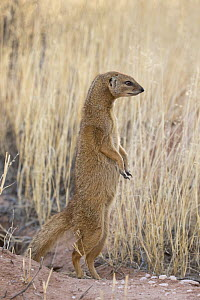Pregnant yellow mongoose (Cynictis penicillata) standing on hind legs, Kgalagadi Transfrontier National Park, Northern Cape, South Africa, February - Ann  & Steve Toon