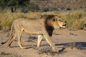 Lion (Panthera leo) male with dark mane contact calling, Kgalagadi Transfrontier Park, South Africa. - Ann  & Steve Toon