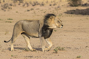 Lion (Panthera leo) male with dark mane, Kgalagadi Transfrontier Park, South Africa. - Ann  & Steve Toon