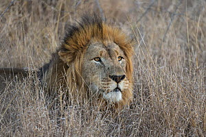 Lion (Panthera leo), Zimanga private game reserve, KwaZulu-Natal, South Africa.  -  Ann  & Steve Toon