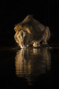 Lion (Panthera leo) drinking at night, Zimanga private game reserve, KwaZulu-Natal, South Africa.  -  Ann  & Steve Toon