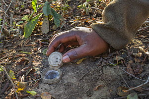 Guide lifting trap door of spider burrow to show baby spiderlings inside, iMfolozi game reserve, KwaZulu-Natal, South Africa.  -  Ann  & Steve Toon