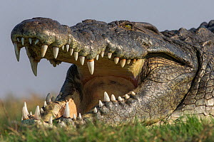 RF - Nile crocodile (Crocodylus niloticus head close up with jaws open, Chobe river, Botswana. (This image may be licensed either as rights managed or royalty free.) - Ann  & Steve Toon