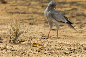 Cape cobra (Naja nivea) followed by pale chanting goshawk (Melierax canorus), Kgalagadi transfrontier park, South Africa. - Ann  & Steve Toon
