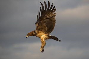 Tawny eagle (Aquila rapax) in flight, Zimanga private game reserve, KwaZulu-Natal, South Africa.  -  Ann  & Steve Toon
