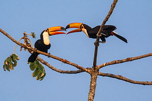 Toco toucan (Ramphastos toco) pair billing in tree. Pantanal forest, Mato Grosso, Brazil.  -  Gabriel Rojo