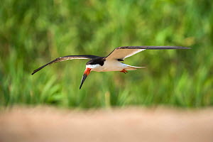 Black skimmer (Rynchops niger) in flight. Cuiaba River, Pantanal, Mato Grosso, Brazil. September. - Gabriel Rojo