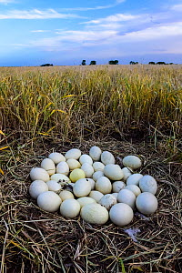 Greater rhea (Rhea americana) nest with many eggs, at edge of arable field. Patagonia, Argentina. October.  -  Gabriel Rojo