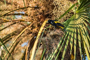 Golden-winged cacique (Cacicus chrysopterus) vocalising in Palm tree. Pantanal, Mato Grosso, Brazil. - Gabriel Rojo