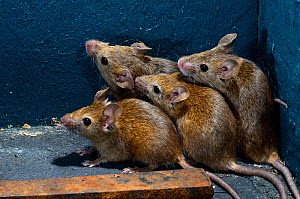 House mice (Mus domesticus) hiding in corner of garden shed. Dorset, England, UK. July.  -  Colin Varndell