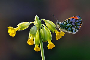 Orange-tip butterfly (Anthocharis cardamines) resting on Cowslip (Primula veris). Dorset, England, UK. April.  -  Colin Varndell