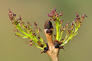 Ash (Fraxinus excelsior) blossom and bud. Dorset, England, UK. April. - Colin Varndell