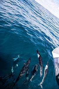Northern right whale dolphin (Lissodelphis borealis) pod, viewed from above. California, USA.  -  Doc White