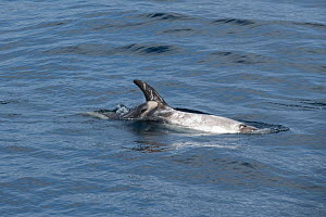 Risso's dolphin (Grampus griseus) female and calf aged two days, swimming at surface. California, USA.  -  Doc White
