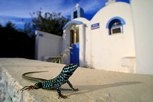 Milos wall lizard (Podarcis milensis) male from the hills above Plaka on Milos Island, Greece, July. Controlled conditions.  -  Robert Valentic