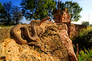 Montpellier snake (Malpolon monspessulanis insignitus) juvenile basking in the morning along an old wall in a field, Dadia Forest, Greece, August. Controlled conditions. - Robert Valentic