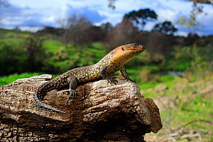 Cunningham's skink (Egernia cunninghami) basking at midday, Merri Creek on the northern fringe of metropolitan Melbourne, Victoria, Australia. October. Controlled conditions. - Robert Valentic