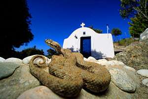 Milos Viper (Macrovipera schweizeri) sub-adult in the grounds of a church, Milos Island, Greece, July. Controlled conditions. - Robert Valentic