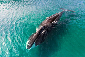 Bowhead whales (Balaena mysticetus) in shallow water, Sea of Okhotsk, Russia.  -  Tony Wu
