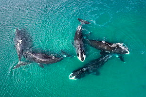 Bowhead whale (Balaena mysticetus), five whales socialising in shallow water, aerial view. Part of larger group of 50 to 100 whales congregating, Sea of Okhotsk sub-population, Russia. - Tony Wu