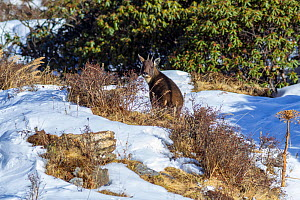 Goral (Naemorhedus griseus) in snow. Jiudingshan Nature Reserve, Mao Country, Sichuan Province, China. November.  -  Dong Lei