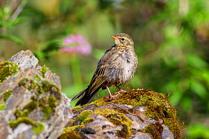 Rosy pipit (Anthus roseatus) standing on rock. Jiudingshan Nature Reserve, Mao Country, Sichuan Province, China. July.  -  Dong Lei