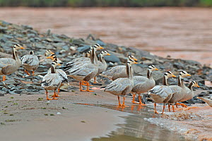 Bar headed goose (Anser indicus) flock standing at water's edge. Sanjiangyuan National Nature Reserve, Qinghai Province, Qinghai-Tibet Plateau. August.  -  Dong Lei
