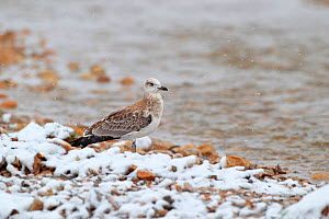 Pallas's gull (Larus ichthyaetus) in snow at water's edge. Sanjiangyuan National Nature Reserve, Qinghai Province, Qinghai-Tibet Plateau. August.  -  Dong Lei