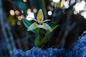 Brown rock orchid (Coelogyne fimbriata). Nonggang Natural Reserve, Guanxi Province, China. - Dong Lei