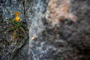 Ellen's paphiopedilum orchid (Paphiopedilum helenae) on rock. Nonggang Natural Reserve, Guanxi Province, China.  -  Dong Lei