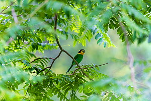 Long-tailed broadbill (Psarisomus dalhousiae) perched in tree. Nonggang Natural Reserve, Guanxi Province, China. - Dong Lei