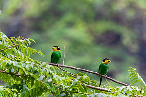 Long-tailed broadbill (Psarisomus dalhousiae), two perched on branch, looking in opposite directions. Nonggang Natural Reserve, Guanxi Province, China.  -  Dong Lei