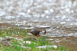 White-throated dipper (Cinclus cinclus) feeding at water's edge, tadpole in beak. Sanjiangyuan National Nature Reserve, Qinghai Province, Qinghai-Tibet Plateau. August.  -  Dong Lei