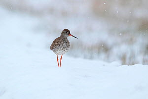 Redshank (Tringa totanus) standing in snow. Sanjiangyuan National Nature Reserve, Qinghai Province, Qinghai-Tibet Plateau. August.  -  Dong Lei